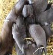 和諧養殖提供獺兔肉兔、黑色肉兔、彩色肉兔
