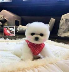 出售高品質幼犬  博美 金毛 拉布拉多 法斗 等等