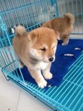 上海柴犬哪有卖健康柴犬哪里买狗场在哪里
