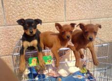 上海狗场直销精品小鹿犬乖巧可爱保纯种