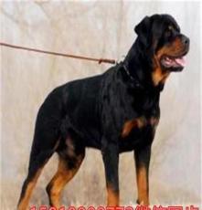 海安喜樂蒂犬邊境犬品質一流,市場低價