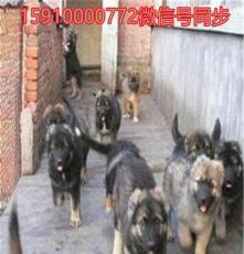 大姚獵犬.土耳其曼犬.杜高犬品質一流,市場低價