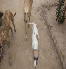 鄂州杜高二個月以上犬出售,杜高視頻觀看