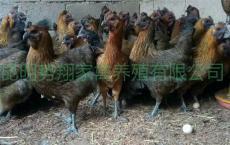 云南勢翔禽業銷售優質云南本地老品種土雞苗