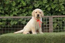 上海精品拉多犬最佳伴侣犬签协议保纯包