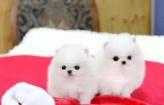 松江博美哪里买好松江狗场在哪里博美多少钱