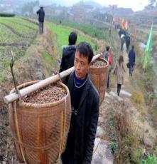 大量供應油茶籽 野生山茶籽 谷城縣油茶籽批發 現貨 量大從優