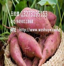 瀘州商薯19紅薯行情  唐山商薯19產地