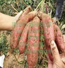 哈尔滨徐薯18红薯品种