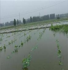 蓮菜種、武漢藕種苗供應、蓮菜種供應