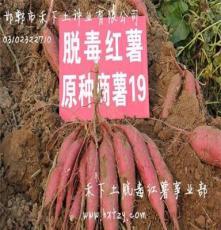 供應2014淀粉紅薯燒烤紅薯禾下土脫毒甘薯基地