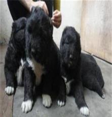 瑤海區薩摩耶犬,拉布拉多犬免費運輸 保障質量