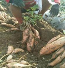 供應廠家直銷優質紅薯