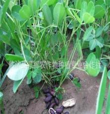 长期供应 纯天然种植黑花生 优质出油多黑花生 价格实惠 品质好