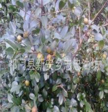 特價供應霜降油茶籽