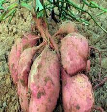 供应元氏红薯5