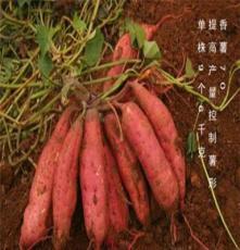 石家庄红薯10