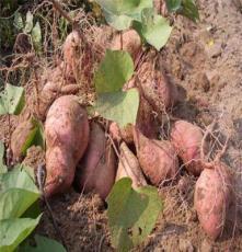 石家庄烟薯6