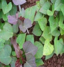 石家庄红薯苗10