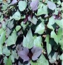 無公害紫薯苗 邢臺紫薯苗基地 高產紫薯苗 優質紫薯苗 紫羅蘭