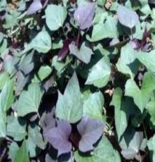 供應紫羅蘭 紫薯苗 種薯 紫羅蘭 紫薯苗 種薯批發價格