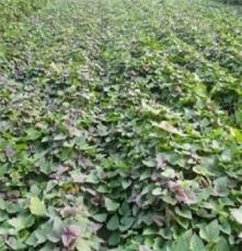 邯鄲優質紅薯苗 無公害紅薯苗 紅薯苗價格 紅薯行情 蘇薯8號