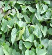 沧州优质红薯苗 种薯-商薯19 红薯苗 种薯报价 高产红薯苗