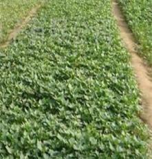 大量批发徐薯27 红薯苗 种薯 徐薯27 红薯苗 种薯最新价格