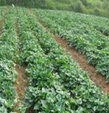 北京高產紅薯苗 脫毒紅薯苗 紅薯苗價格 秦薯7