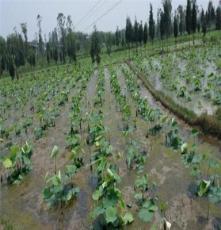 雪蓮藕種種植基地原種新一代高產藕種價格_蓮藕種廠家