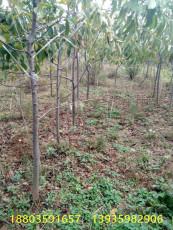 大櫻桃樹苗什么時候結果一5公分結果櫻桃樹
