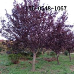 紫叶李树苗红叶紫叶李树6公分紫叶李树