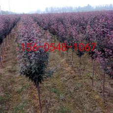 供应红叶紫叶李9公分10公分11公分紫叶李