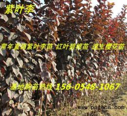 产地直紫叶李多少钱一棵8公分10公分规格