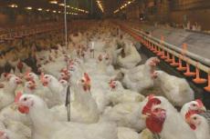 肉雞用什么藥增重快如何使肉雞快速增肥