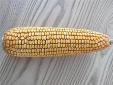 高產玉米新品種大棒玉米種子承科一號