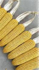 高產玉米品種高產玉米新品種大棒泰玉11