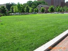 体育场地草坪绿化种植什么草籽