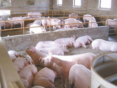 猪吃什么饲料添加剂长得快如何降低养猪料肉