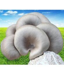 生態莊園 鮮平菇 食用菌 優質特級平菇