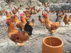 合川养殖乌皮红羽土鸡苗供应 求购土鸡苗