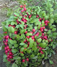鈣果苗 農大鈣果苗價格 畝產3000斤鈣果樹