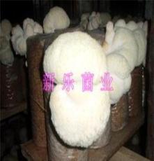 東北特產 干猴頭菇 批發兼零售 猴頭菇價格