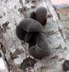 長白山特產優質木段木耳 一級品 黑木耳 秋木耳 野生木耳
