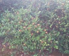 10畝油茶樹一年多少利潤1良種油茶苗1茶子苗