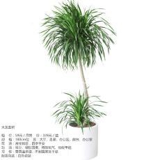 观叶植物租赁阔叶植物租摆