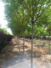 基地金枝槐樹5公分6公分金枝槐樹苗