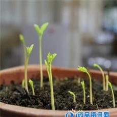 印度辣木籽精選優質辣木籽種子多少錢一斤