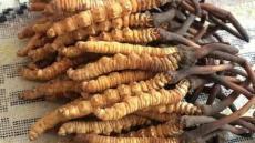 湖州专业回收冬虫夏草-实在做人