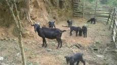 黑山羊养殖这个季节最好